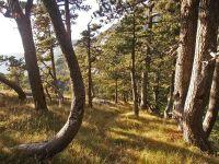 Biljni-svijet-Šuma-munike-Pinus-heldreichii-kod-Pavlovića-dola
